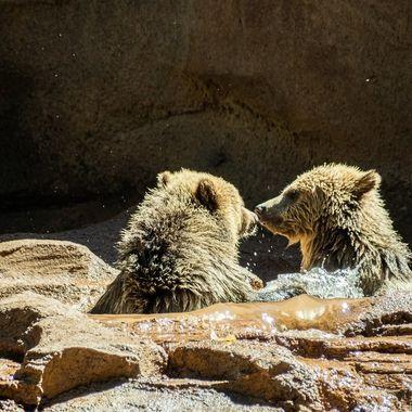 Young Grizzly at Bearizona. Williams, AZ. 3