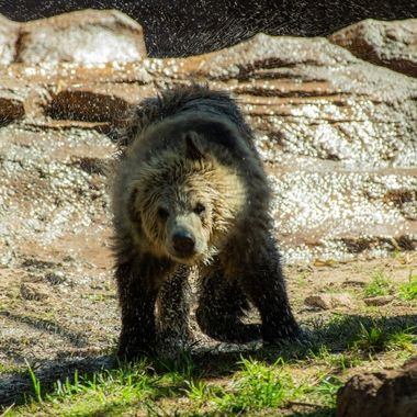 Young Grizzly at Bearizona. Williams, AZ.