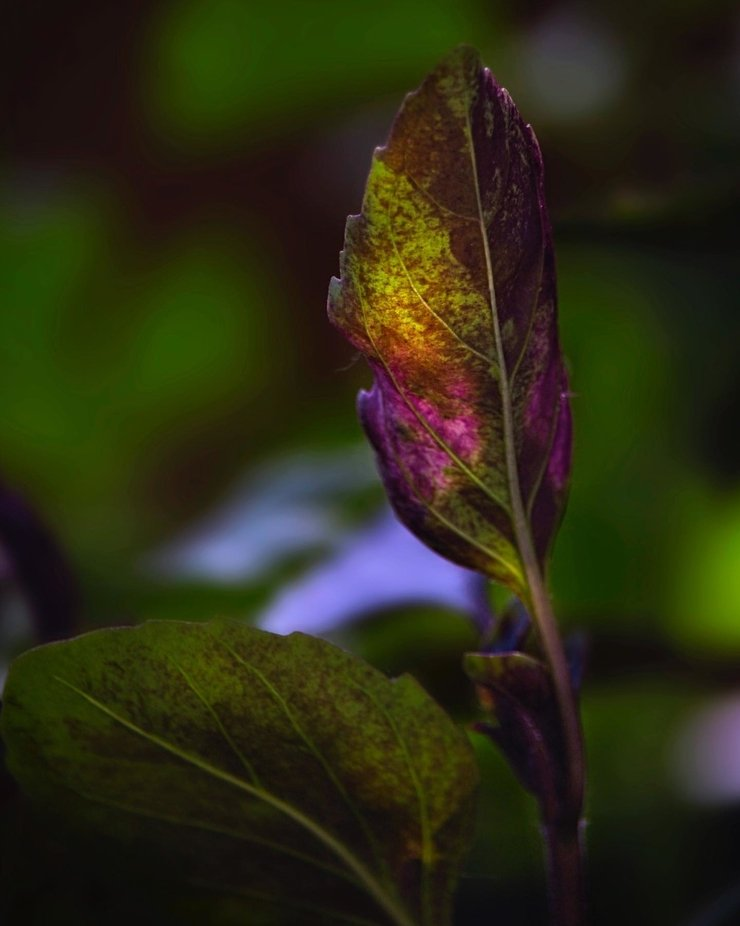 The sun glows through a basil leaf in a pot on our patio...