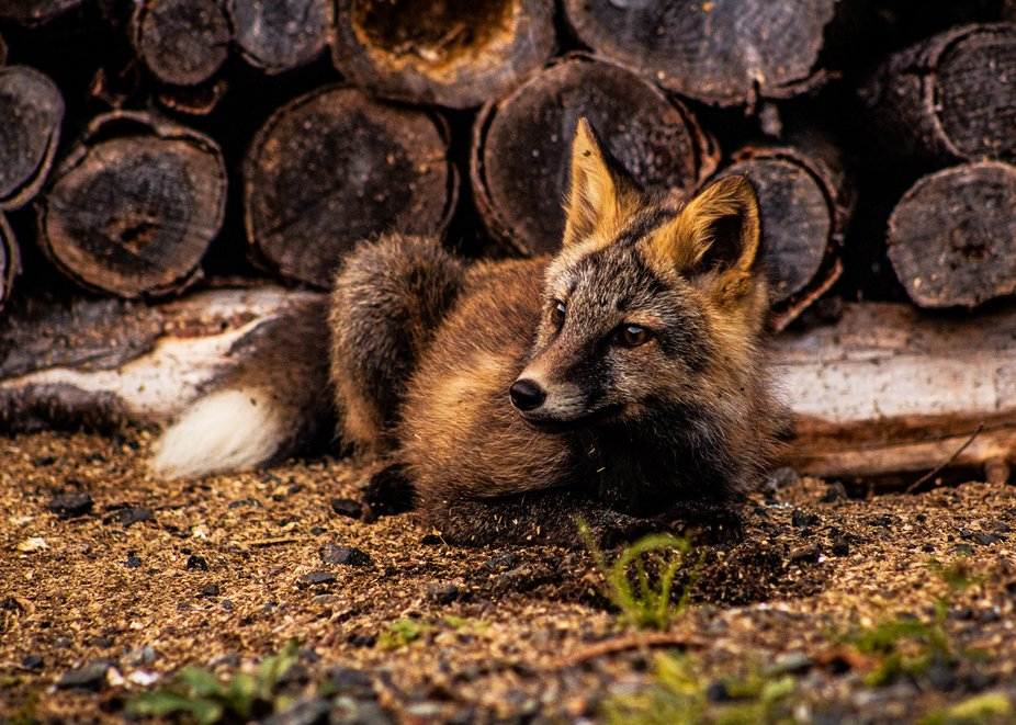 Cross fox resting in the sawdust next to the woodpile.