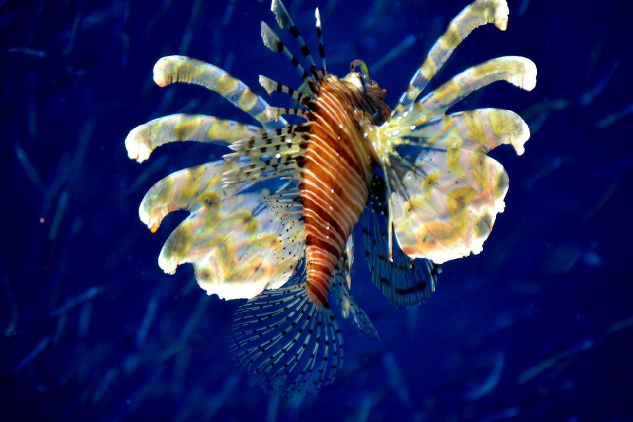 Lion Fish in Amman, Jordan. The water was so clear and clean. I took this photo from the dock looking into the water.