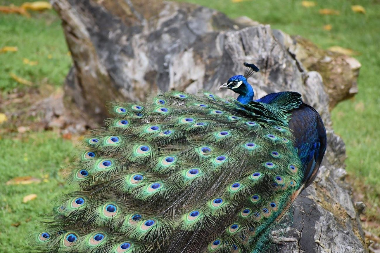The peacock after he got tired.