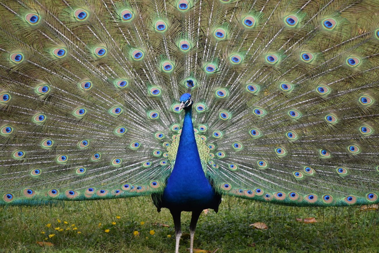 Front view of peacock.