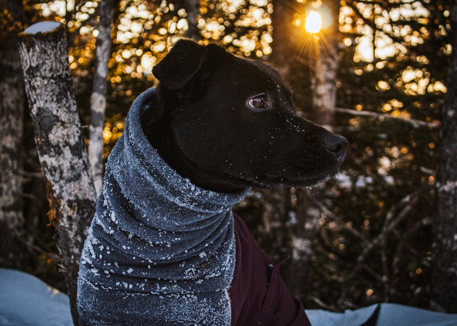 Cinder pictured on a walk in the snow covered forest here in Newfoundland.