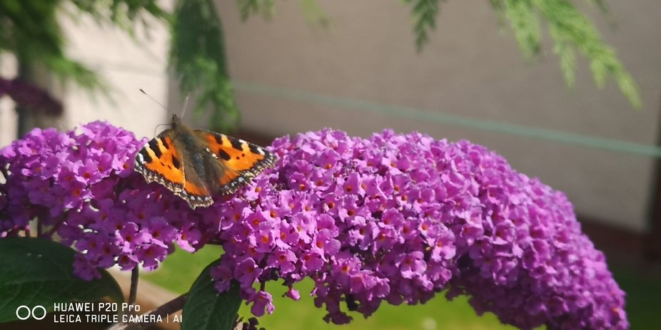 Painted Lady Butterfly on Buddleia bush