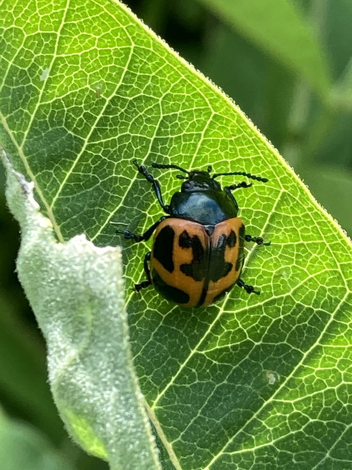 This beetle is ready for Halloween! It is another insect that feasts on the milkweed in my garden.