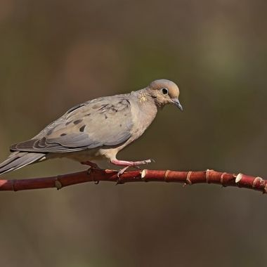 Mouning Dove DSC04916