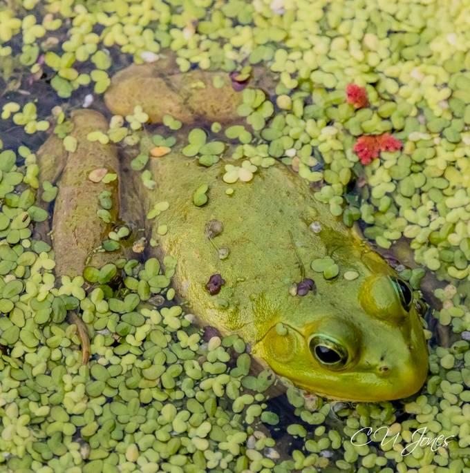 Gators & Frogs in  Port Royal- Cypress Wetlands