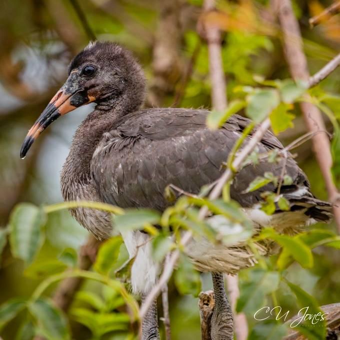 Ibis Babies at Cypress Wetlands in Port Royal, SC