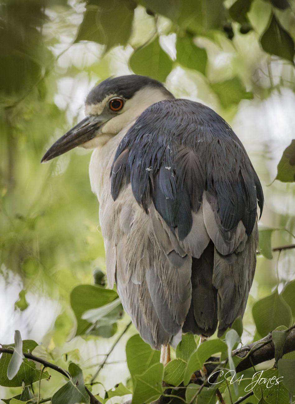 heron at Cypress Wetlands in Port Royal, SC
