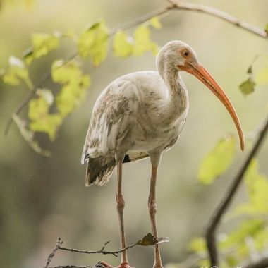 Ibis at Cypress Wetlands in Port Royal, SC