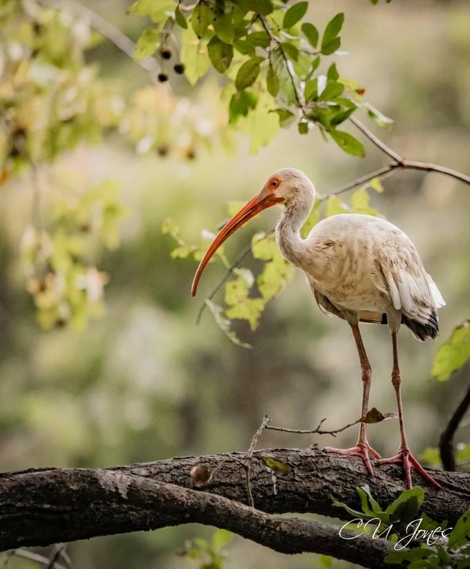 Ibis at Cypress Wetlands in Port Royal, SC