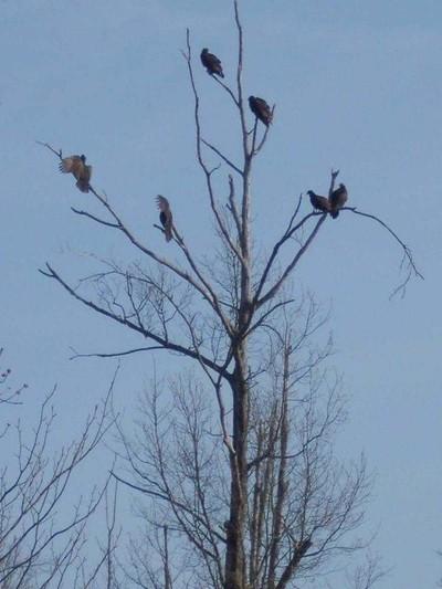 Vultures Sunbathing