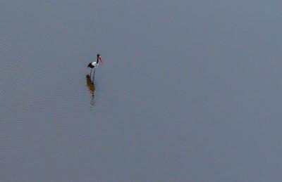 Solitary Saddle-billed Stork