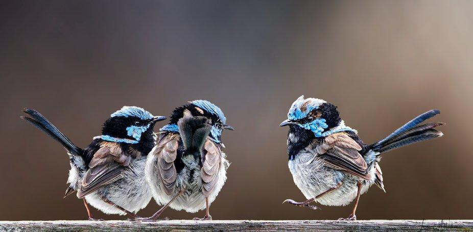 Male Fairywrens standoff