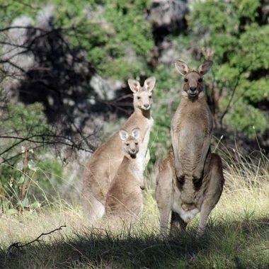 Kangaroo family in the afternoon sun