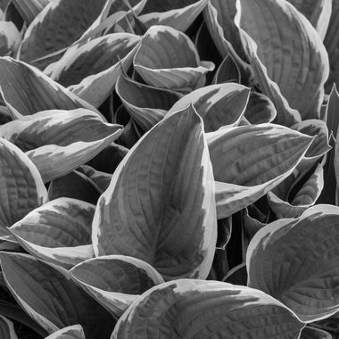 Hosta plantaginea(Plantain Lily) is a lovely foliage type plant.