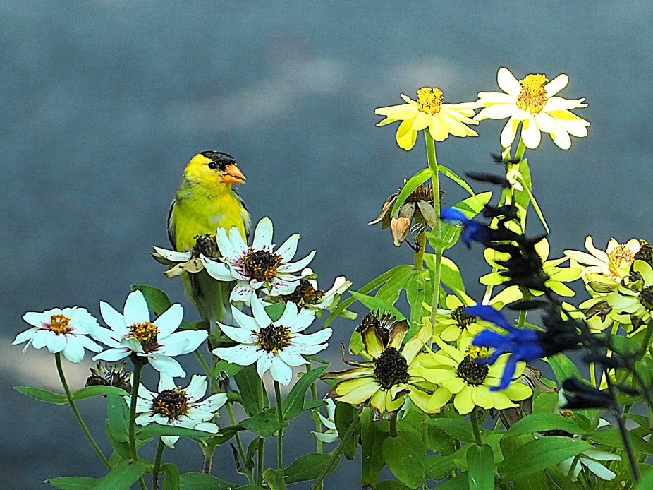 This goldfinch loves the seeds of these zinnia plants