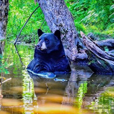 Large black bear chillin in a creek on a hot August day!