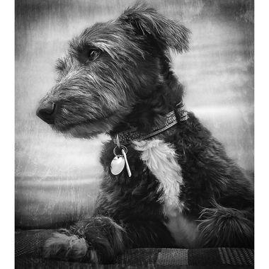 Rough coated lurcher (Bedlington x Whippet) portrait in black and white