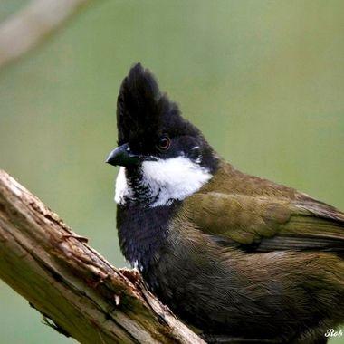Eastern Whipbird 02