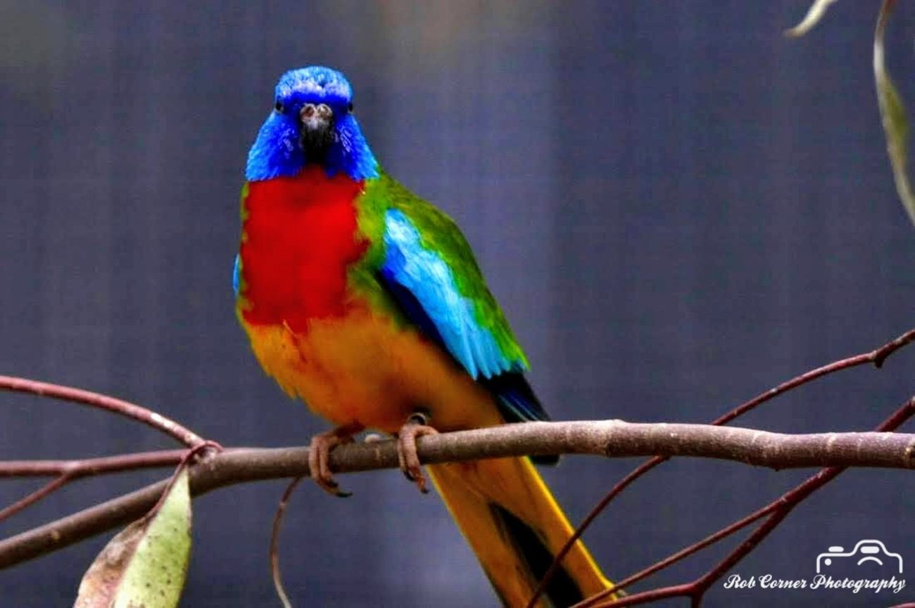 Scarlet-chested Parrot 06