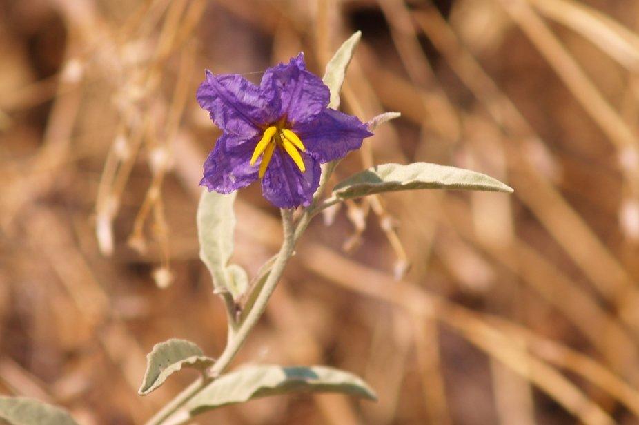 Purple Flower1