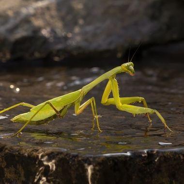Praying Mantis DSC07858