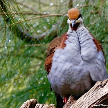 Brush Bronzewing 01