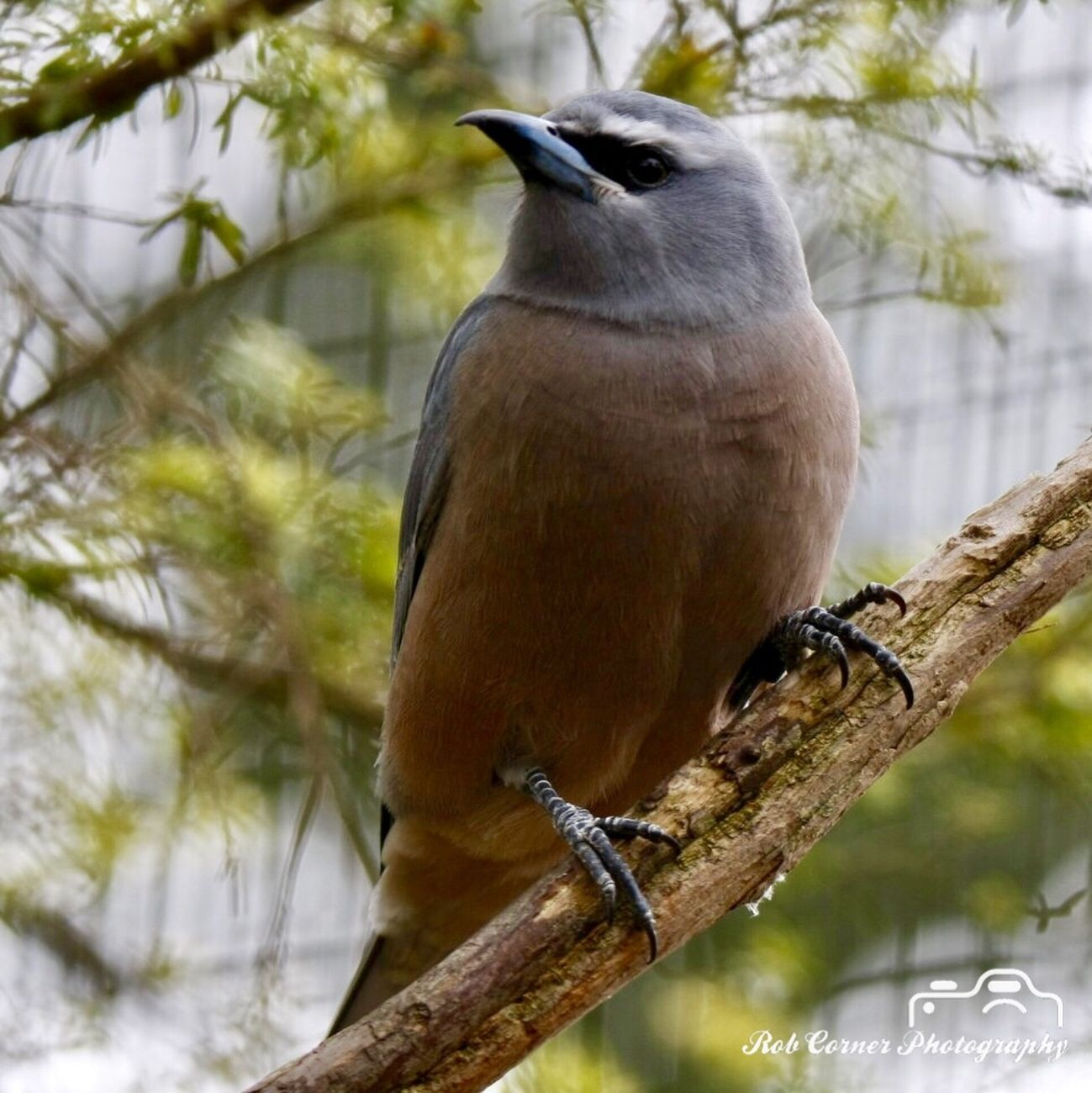 White-browed Woodswallow 02