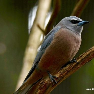 White-browed Woodswallow 01