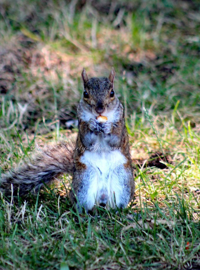 Squirrel-Enjoying a chest nut   -And no she did not share