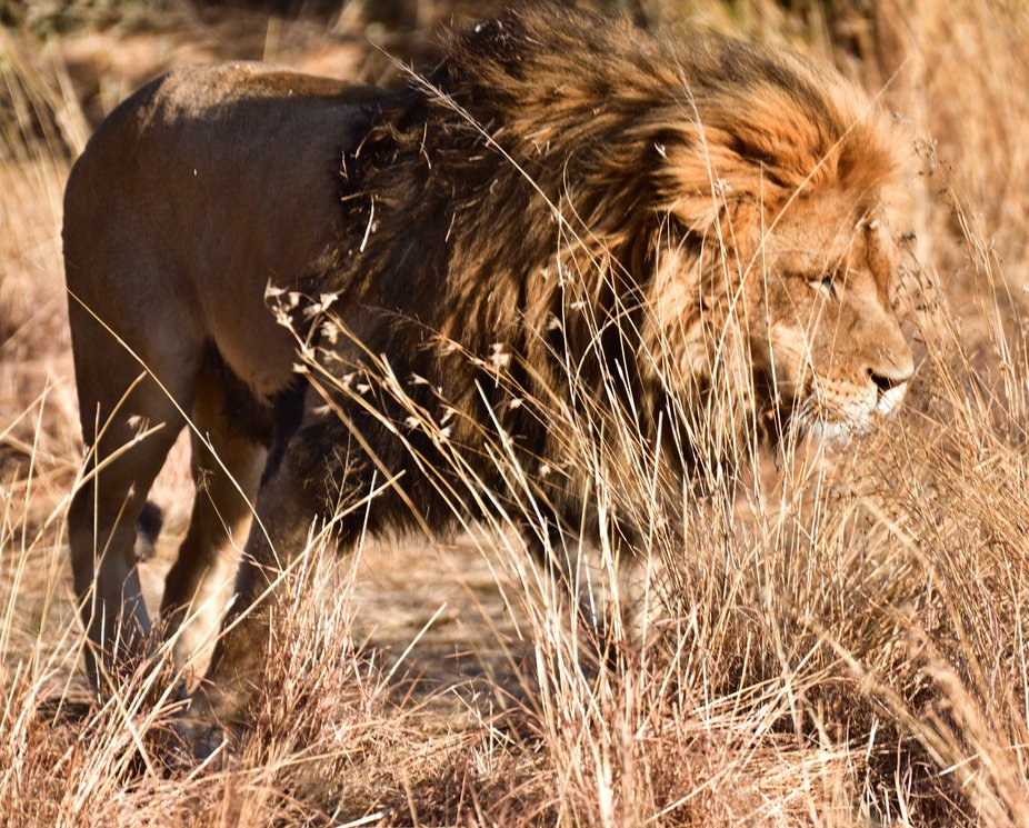 Lion in the wind observed in Amanzi Private Game Reserve.