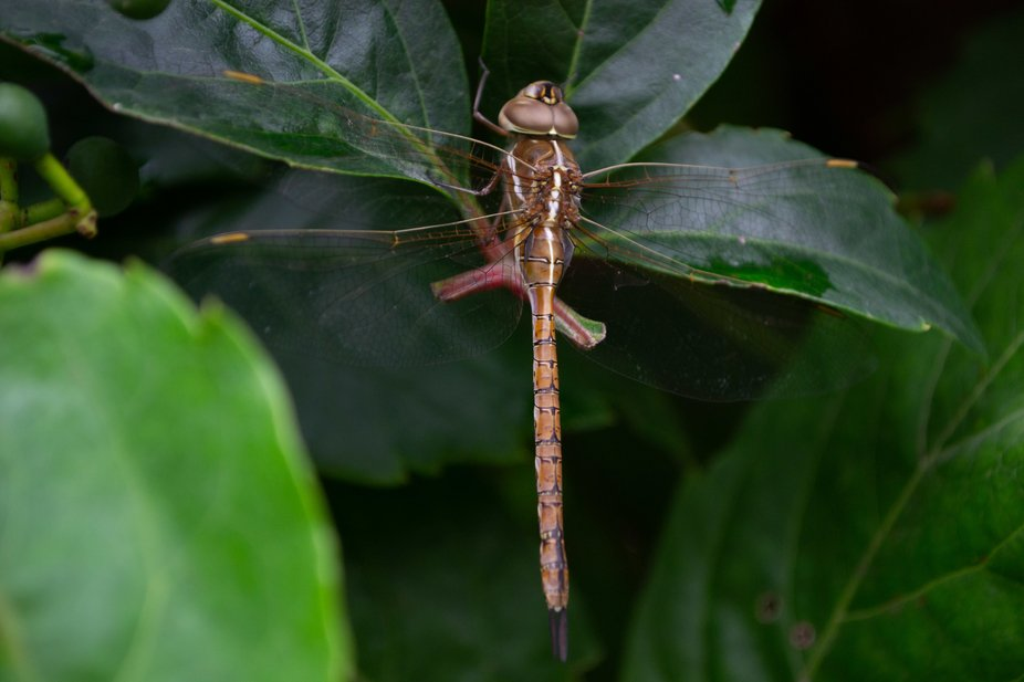 Dragonfly on leaves