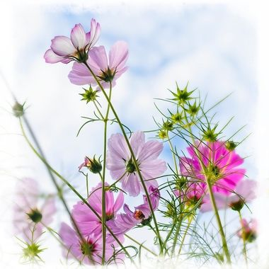 Early Morning Cosmos In Our Yard...
