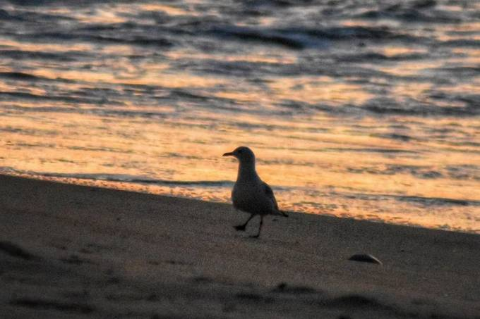 caught this guy just walking along the beach at daybreak