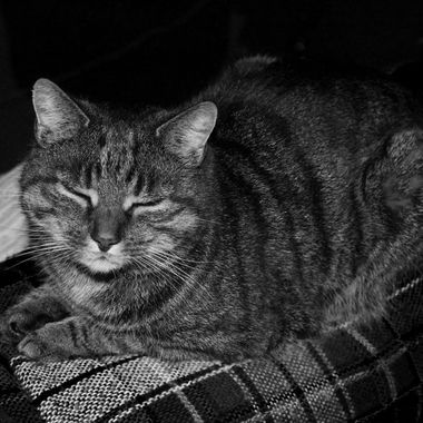 A black and white shot of Cookie my late tabby cat.