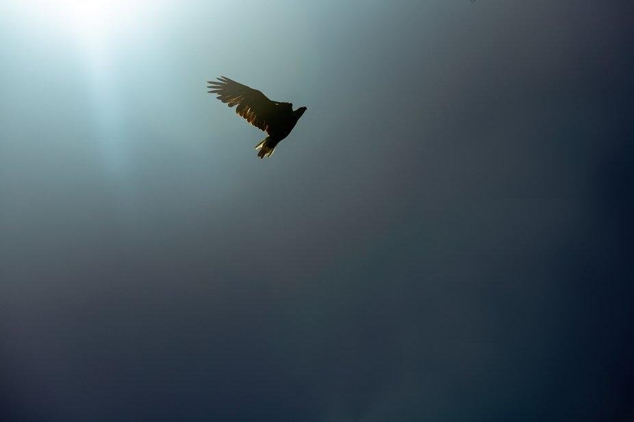 A beautiful bald eagle in flight with sunlight it its wings. Taken near the Missouri River in sou...