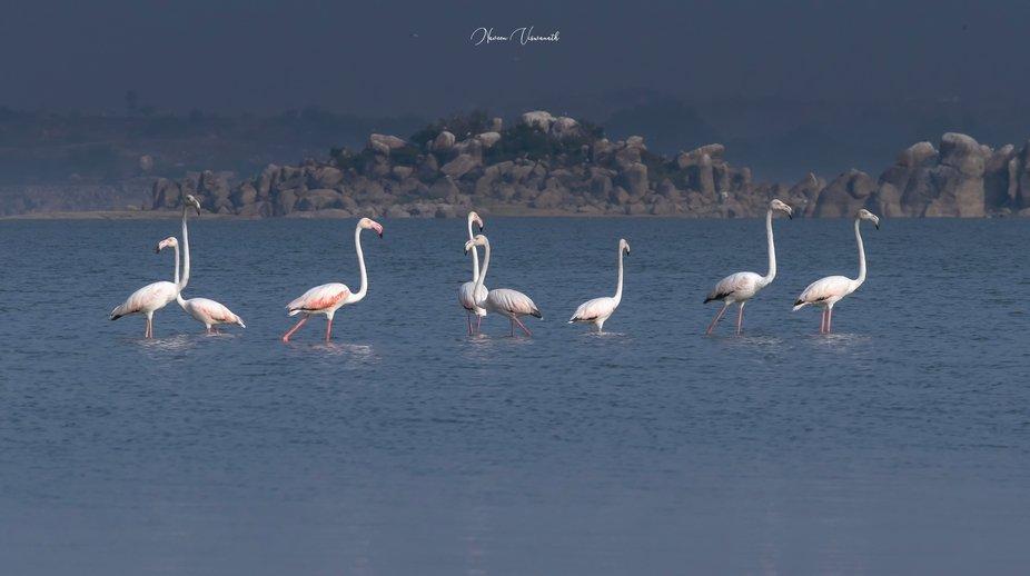 Greater Flamingos!!!