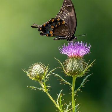 Eastern Black Swallowtail on Thistle