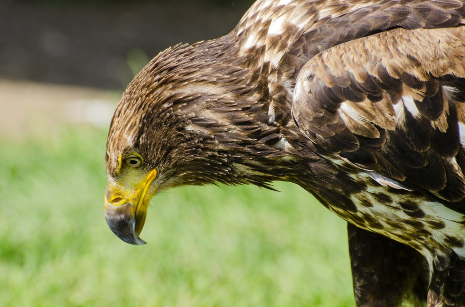 A young Bald Eagle named Grace looks down at the ground contemplating her fate during her rehabil...