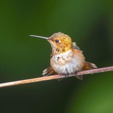 Allen's Hummingbird DSC05369