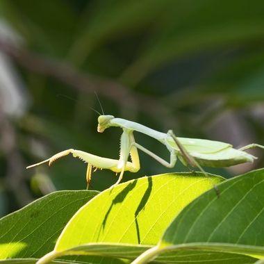 Praying Mantis DSC06522