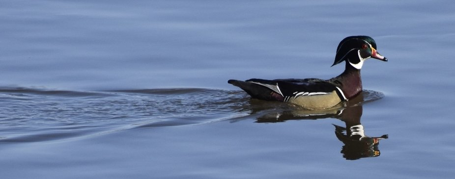 The wood duck with a helmet looking cap was swimming with such determination he quickly fell out ...