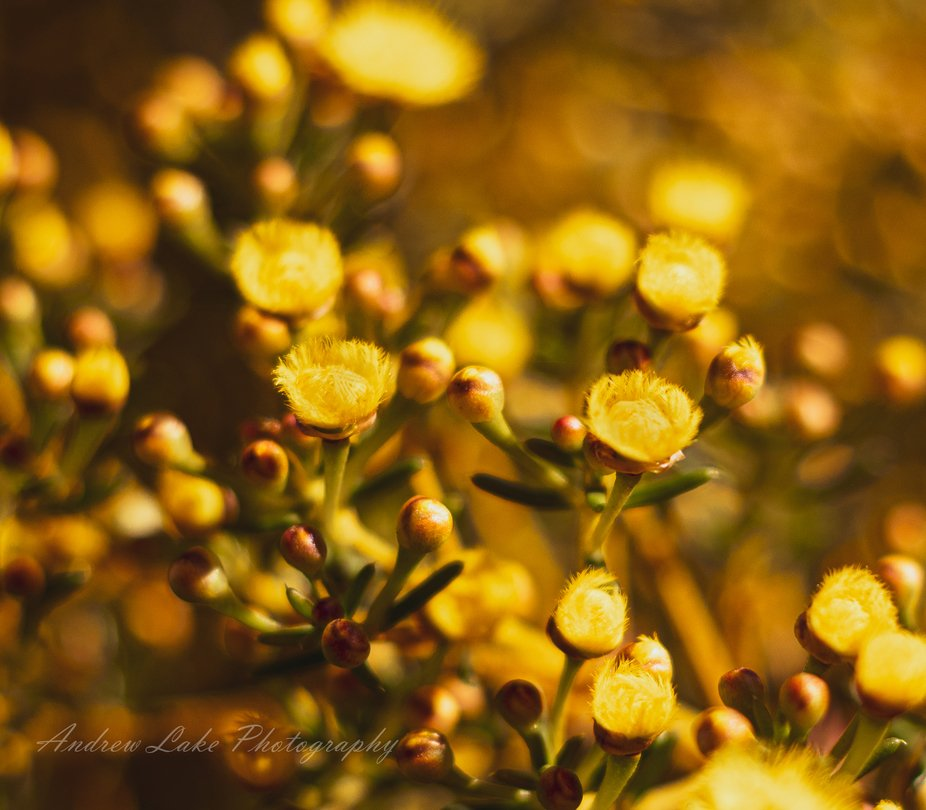 Yellow Feather Flowers