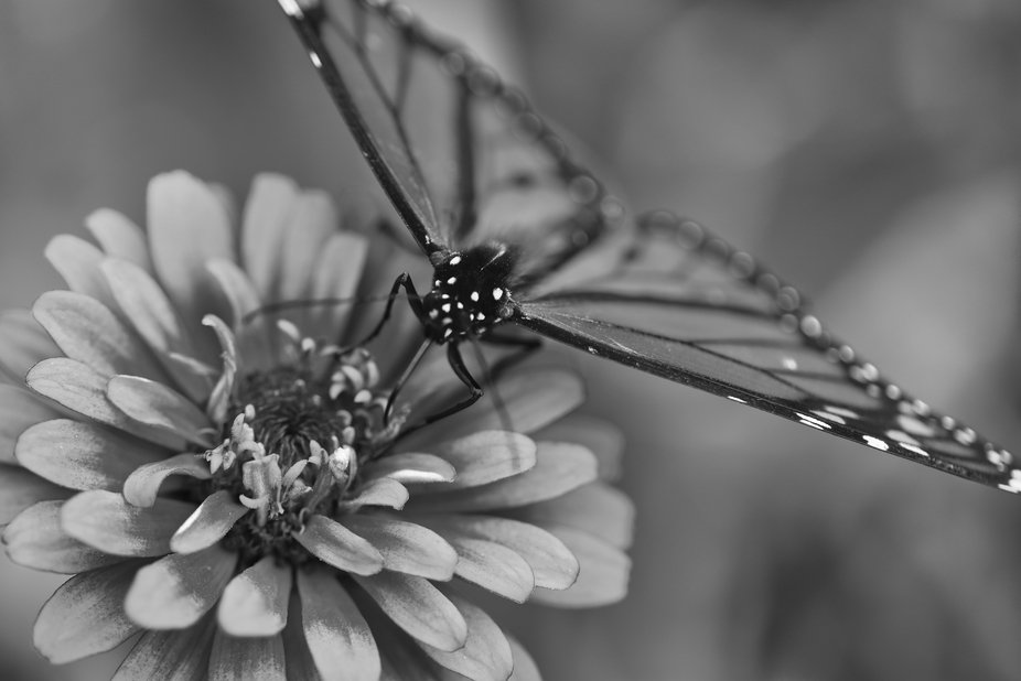 Macro of a monarch butterfly in black and white.