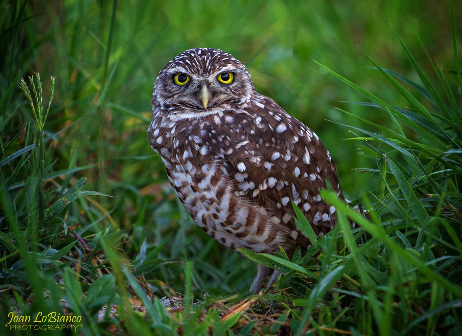 Burrowing Owl. South west Florida