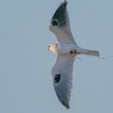 White-tailed Kites with prey DSC09925