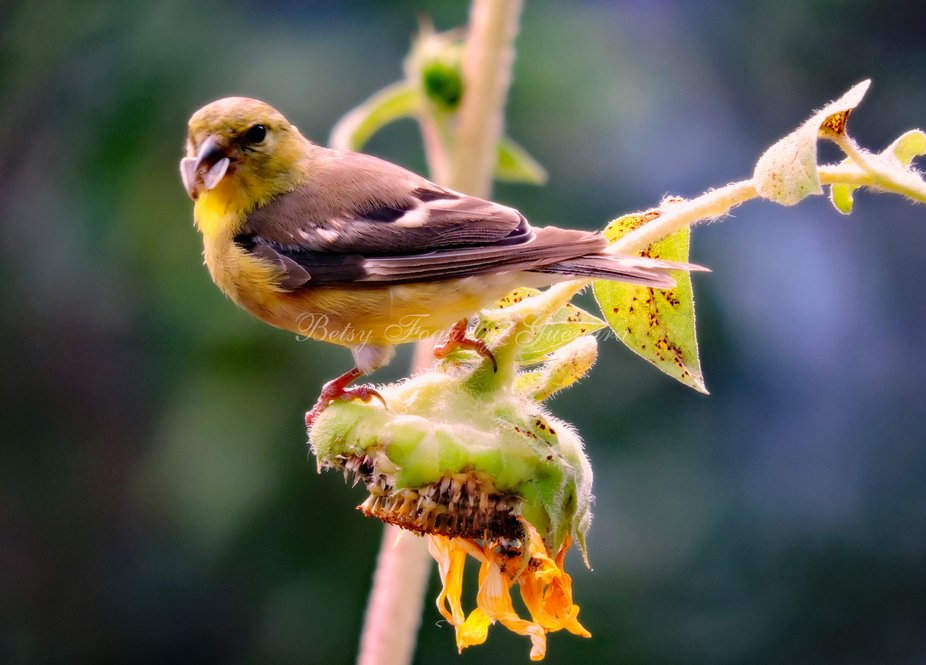 """The American gold finch, also known as the eastern gold finch or """"lightning bird,"""" is a small North American bird in the finch family."""