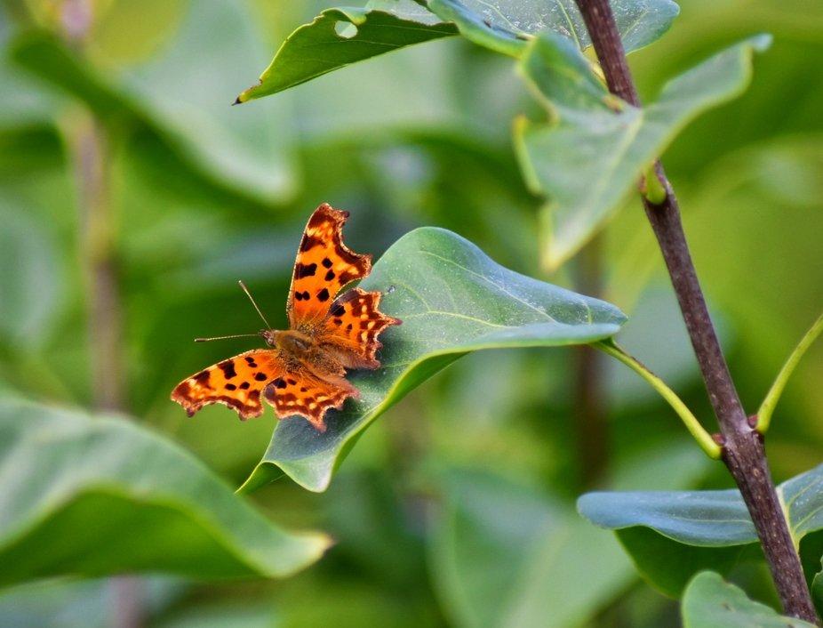 Schmetterling der Edelfalter Polygonia
